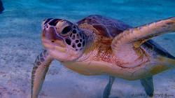 Sea Turtle eascuba [1280x720]