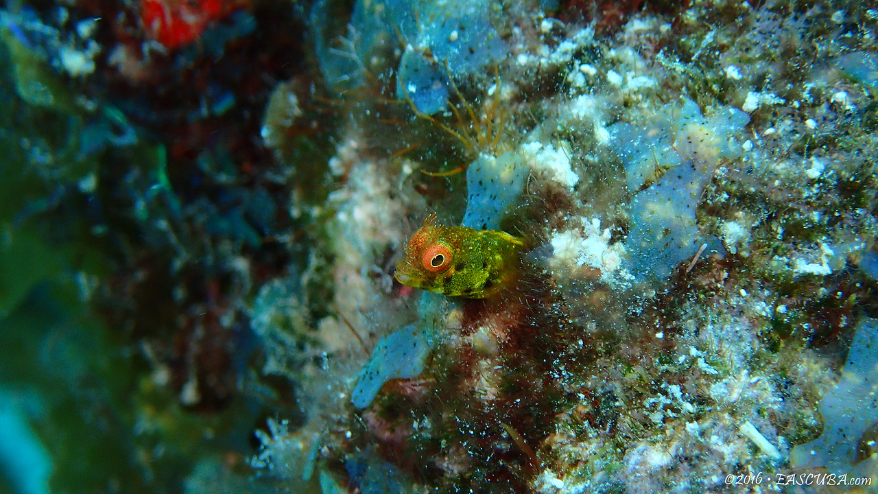 Blenny Green Head eascuba [1280x720]