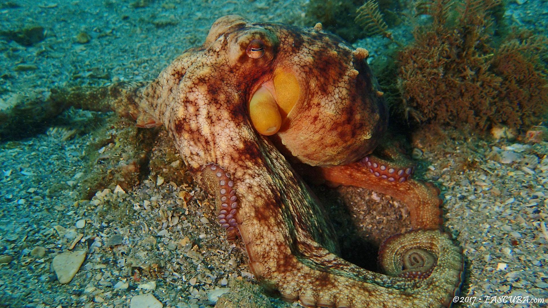 Octopus-4 eascuba17 [1280x720]