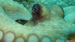 Octopus-5 eascuba17 [1280x720]