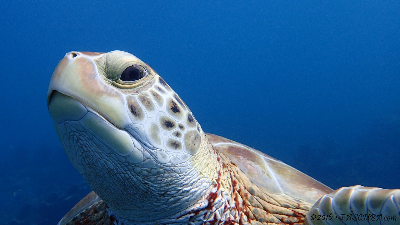 Green Turtle Head - eascuba [1280x720]