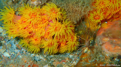 Orange Coral eascuba17 [1280x720]