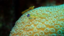 Yellow Coral Blenny eascuba [1280x720]