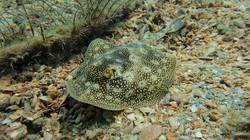 Yellow Spotted Ray eascuba [1280x720]