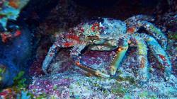 Spider Crab eascuba [1280x720]