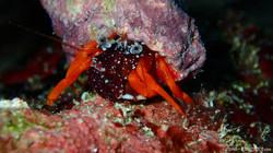Red Crab eascuba [1280x720]