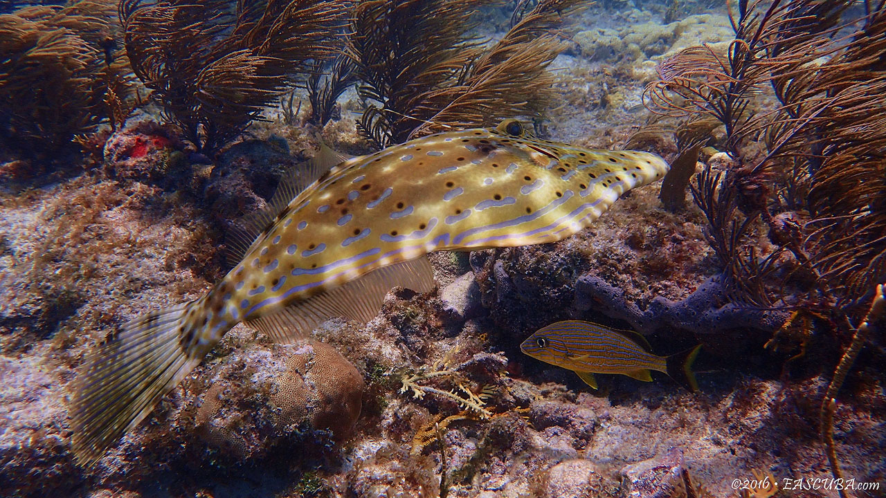 Scrawled Filefish eascuba [1280x720]