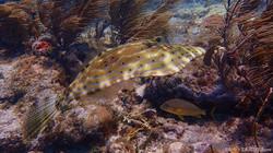 Scrawled Filefish eascuba [1280x720]