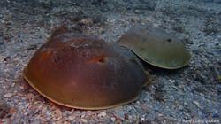 Horseshoe Crab-2 eascuba17 [1280x720]