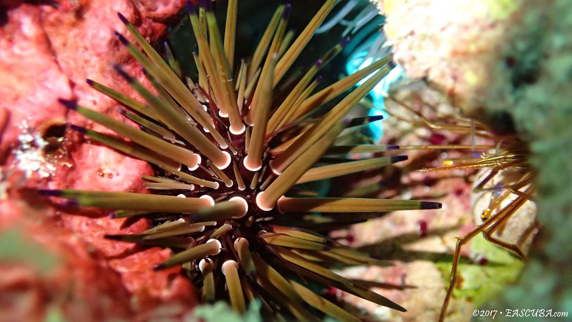 Sea Urchin-8 eascuba17 [1280x720]