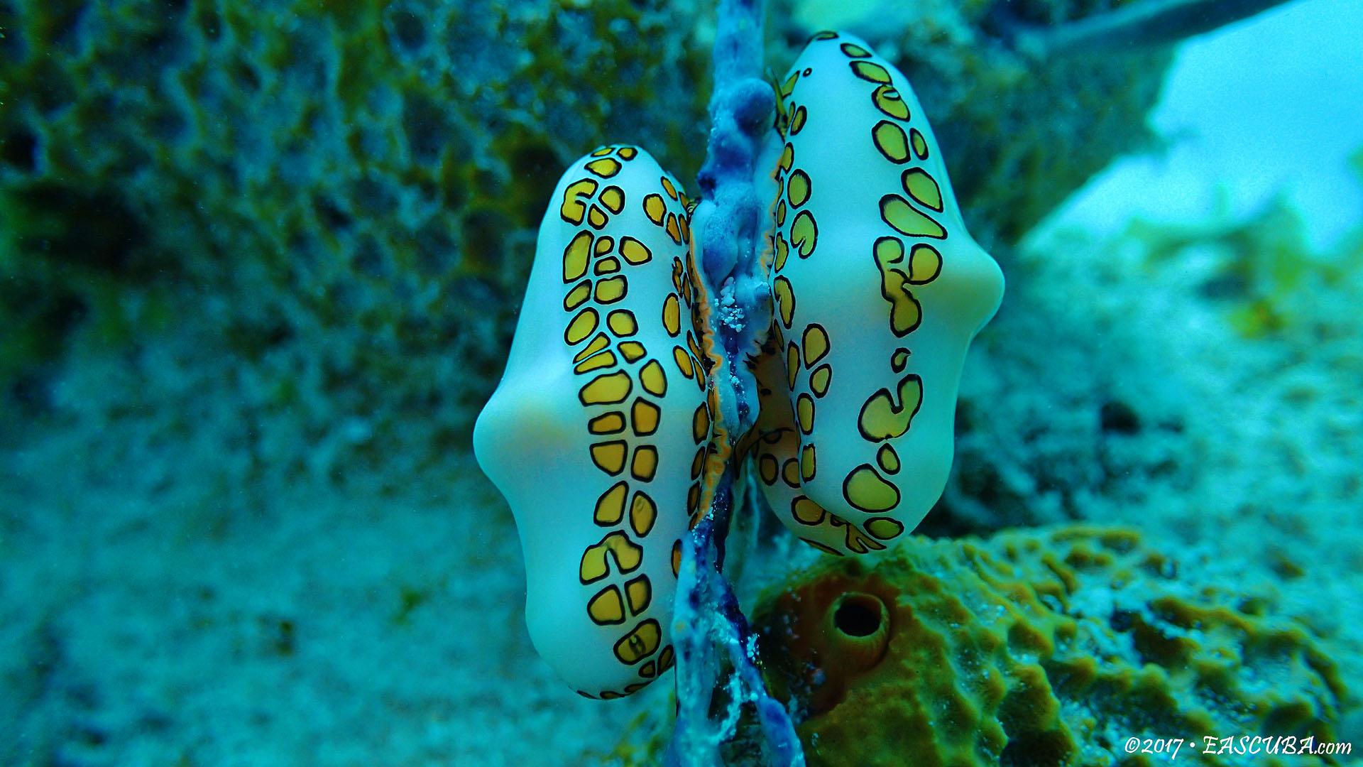 Flamingo Tounge Snail-5 eascuba17 [1280x720]
