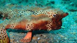 Frog Fish eascuba [1280x720]