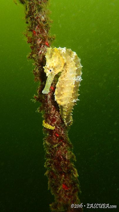 Sea Horse eascuba [1280x720]