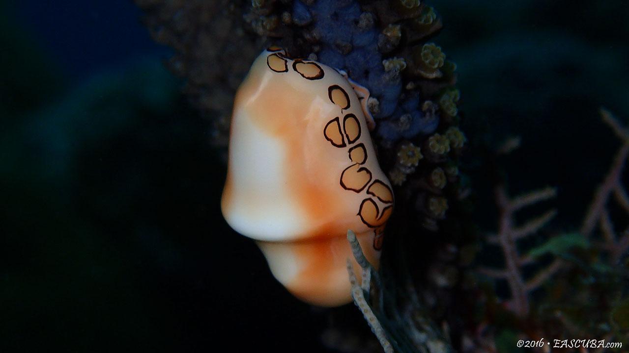 Flamingo Tounge Snail eascuba [1280x720]
