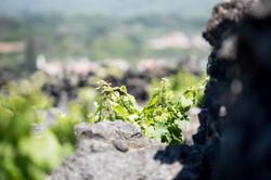 Czar vines