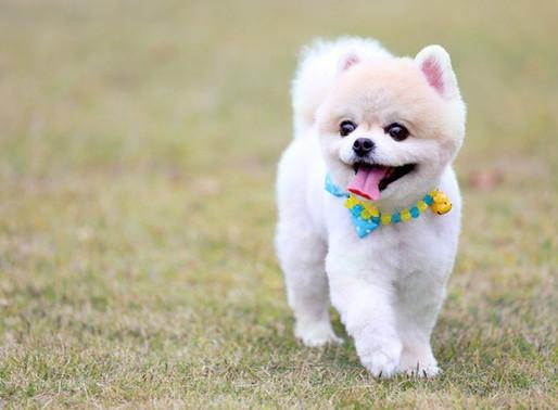 狗狗是人類最忠心的朋友,從以下幾種表現,可反映家中的毛孩對你的喜愛表現。你家狗狗對你做過多少?