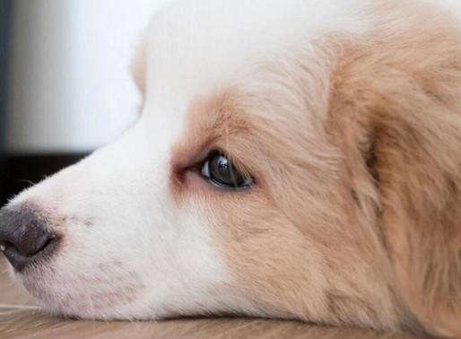 世界寵物狗智商排名前10名,最聰明的竟然是它?