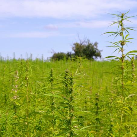 Hanf (Cannabis sativa)