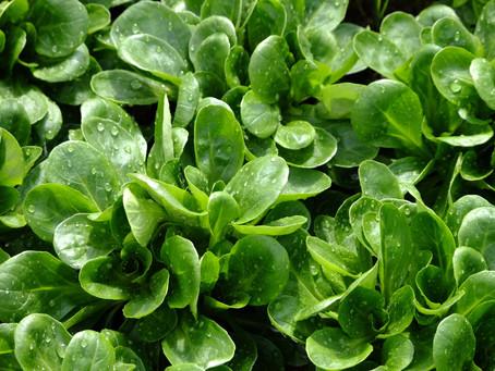 Feldsalat- winterfrisch vom Feld