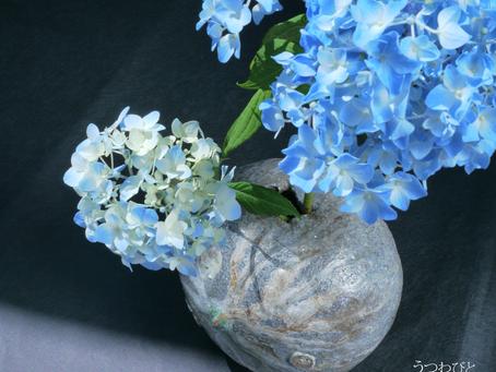 紫陽花は元気です。/ Hydrangea is fine.