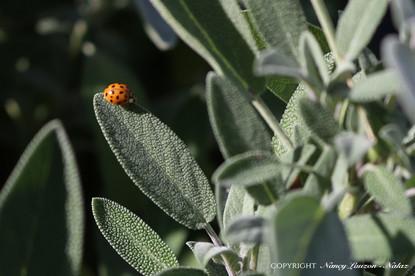 Lucky lady bug et sauge sacrée