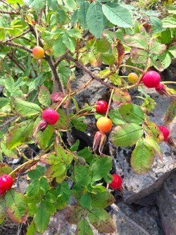 Rose hips in Fall