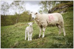 Blue Bug Photography - Sheep!