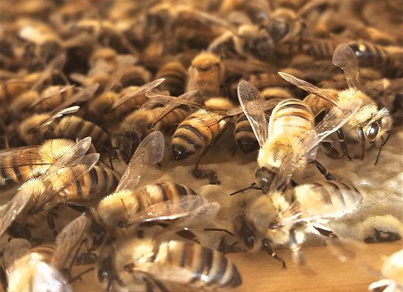 Medium 5 Frame Nuc with 2021 Pointer Bee Farm Queen.