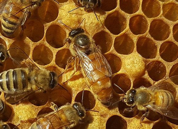 2021  Fat Bee Man  Mated Queen