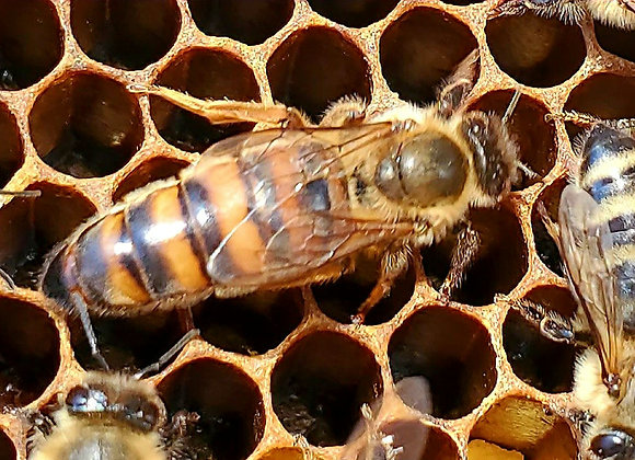 2021 Pointer Bee Farm  Mated Queen