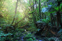 Deep, stunning New Zealand forest with ferns, moss on stones, many other plants and stream