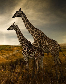Zürafalar