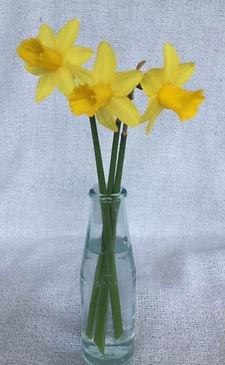 L77 Narcissus Tete-a-tate 2.JPG