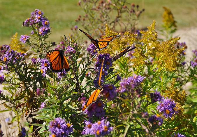 Monarch butterflies on asters