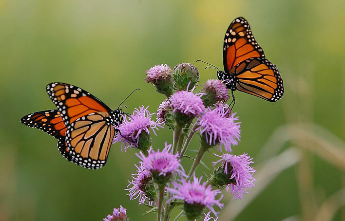 Monarchs-Liatris-NGPL.jpg