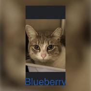 bluebery cat.jpg