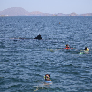 UCSD students swimming with whale sharks