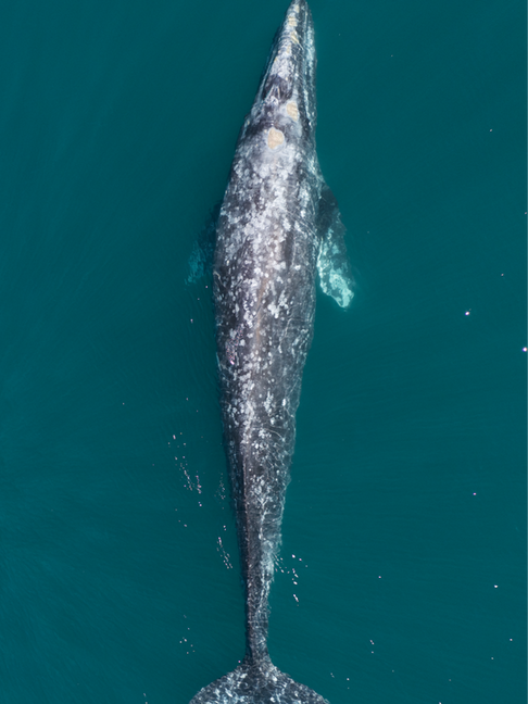 Gray whale from above