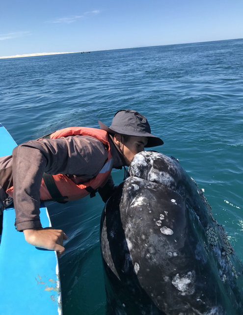 Kissing a gray whale