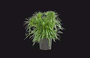 Pflanze-ohne-RADIX-pro-300px.png