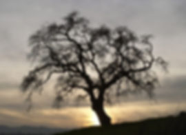 Hawkins Tree_edited.jpg