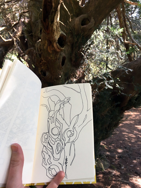 Drawing the yew trees Kingley Vale