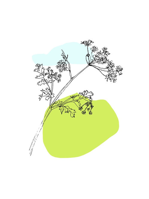 Cow Parsley - A4 Print