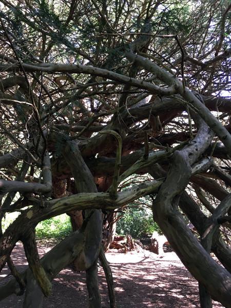 Yew trees Kingley Vale