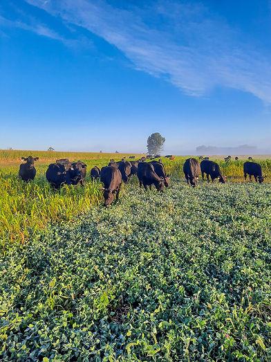 cows8.jpg