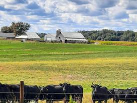 cows4.jpg