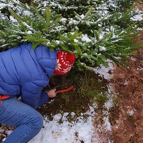 Cut Your Own Christamas Tree, Bishop's Offley Christmas Trees