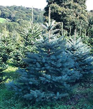 Meyer Spruce Christmas Tree