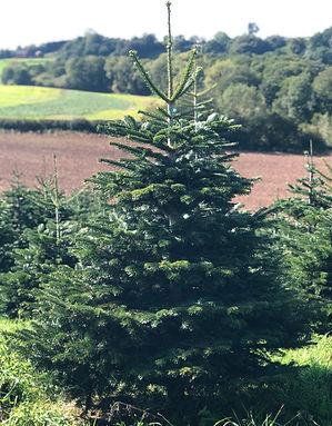 Nordmaan Fir Christmas Tree