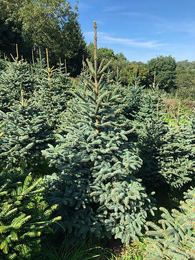 Meyer Spruce Christmas Tree